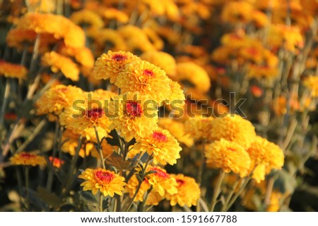 chrysanthemums are blooming beautifully in the spring garden. #1591667788