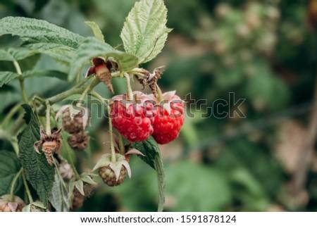 Fresh raspberries on the branch. The raspberries in the bushes. Raspberries in the garden. #1591878124