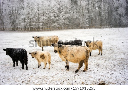 White and black curly breeding milk dairy breed of cows walking on a snowy field in the Czech mountains. Bohemian paradise #1591915255