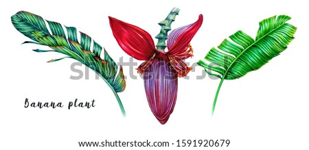 Tropical leaves, blooming flower of banana plant, banana jungle leaf set isolated on white background. Summer natural illustrations. Hand drawn elements. Floral clip art. Exotic botanical print.