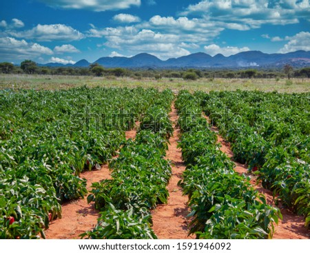 Agriculture and horticulture, crop of green peppers in the open field #1591946092