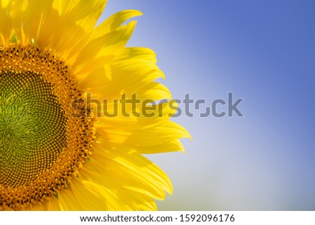 Sunflowers bloom in field for agriculture industry on the autumn. #1592096176