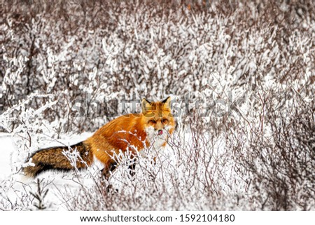 Red fox in the snow. Winter hunting in northern Canada is difficult for fox. Trying to find something to eat. Image.