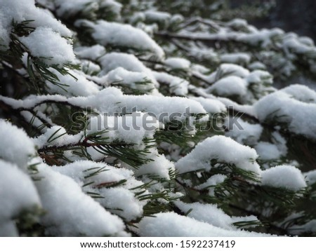 Close up of snowy evergreen branches.      #1592237419
