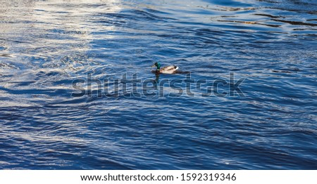 Bird duck (Drake) on the blue water in the city Park in the summer #1592319346
