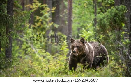 Brown bear in the forest. Scientific name: Ursus arctos. Natural habitat. #1592345509