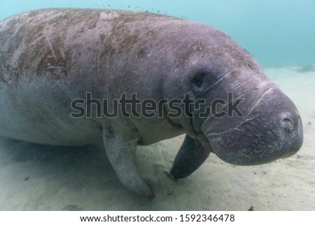 A large, friendly, curious, West Indian Manatee (trichechus manatus) approaches a fully outfitted SCUBA diver with camera. It's uncommon for manatees to approach divers so closely. Eye is focal point!