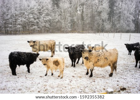 White and black curly breeding milk dairy breed of cows walking on a snowy field in the Czech mountains. Bohemian paradise #1592355382