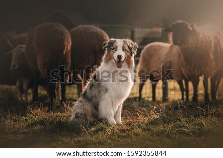 Beautiful Australian shepherd is posing and herding Royalty-Free Stock Photo #1592355844