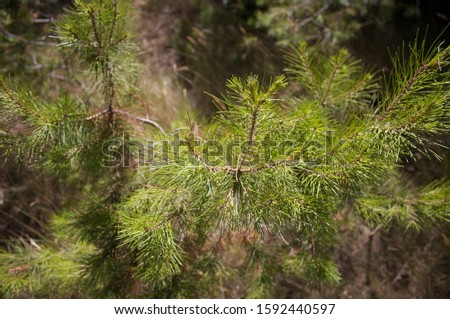 Evergreen Pine Trees in summer #1592440597