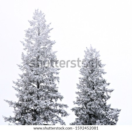 Douglas-Fir trees covered in snow in the middle of winter. #1592452081