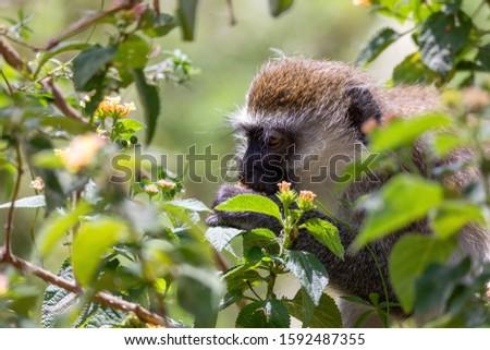 feeding vervet monkey in Lake Chamo in natural habitat, in natural habitat, Arba Minch, Ethiopia wildlife #1592487355