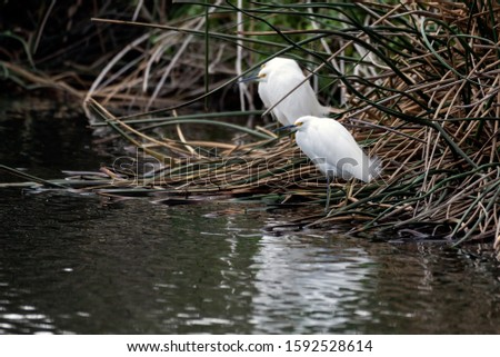Snowy White Egrets all perched along same shoreline of lagoon in a row in identical stance. #1592528614