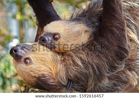 Two sloths hanging in a tree, one is a baby. Wild animal quiet and friendly. Blurred background