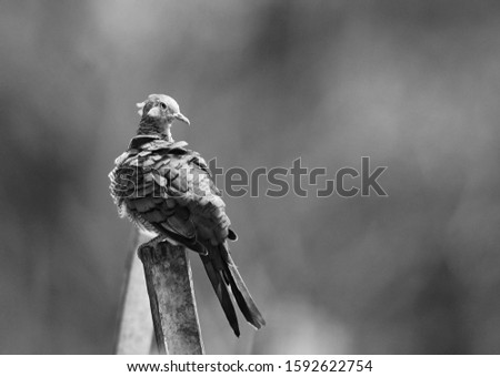 Black and white picture of zebra dove or Geopelia striata for its scientific name, perching on bamboo stick while sunbathing, bokeh, blurry background, grainy