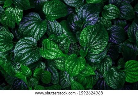 green leaf texture, dark green foliage nature background, tropical leaf #1592624968