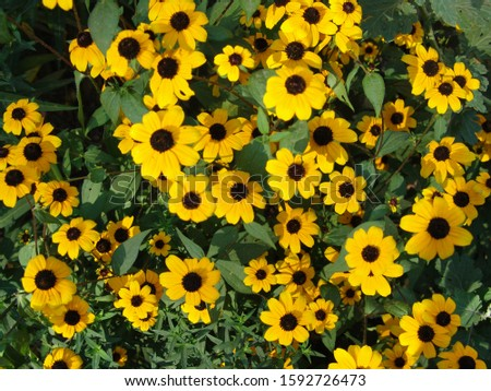 Carpet of yellow and black daisies looks very beautiful #1592726473