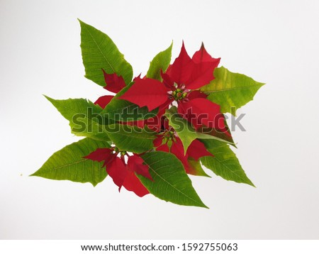 This is a picture of a beautiful poinsettias(Euphorbia pulcherrima) from above.