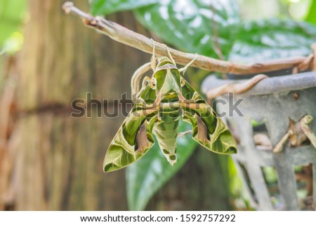 The beautiful Oleander Hawk Moth, or The Gardinia Hawk Moth. holding on a plant, selective focused picture of bug that has a scientific name called Daphnis Nerii Moth. in the species of Sphingidae.
