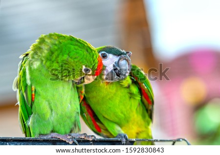 Lovebird parrots sitting together. This birds lives in the forest and is domesticated to domestic animals #1592830843