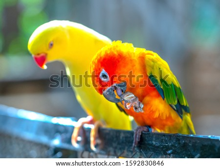 Lovebird parrots sitting together. This birds lives in the forest and is domesticated to domestic animals #1592830846