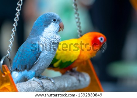 Lovebird parrots sitting together. This birds lives in the forest and is domesticated to domestic animals #1592830849