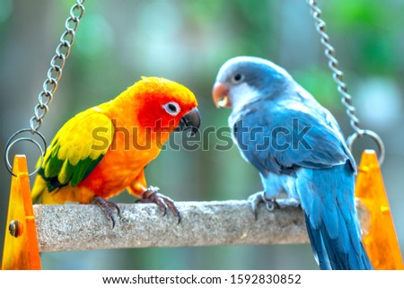Lovebird parrots sitting together. This birds lives in the forest and is domesticated to domestic animals #1592830852