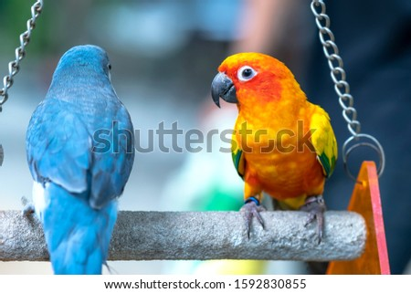 Lovebird parrots sitting together. This birds lives in the forest and is domesticated to domestic animals #1592830855