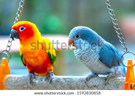 Lovebird parrots sitting together. This birds lives in the forest and is domesticated to domestic animals #1592830858