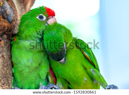 Lovebird parrots sitting together. This birds lives in the forest and is domesticated to domestic animals #1592830861
