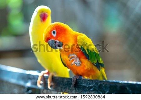 Lovebird parrots sitting together. This birds lives in the forest and is domesticated to domestic animals #1592830864