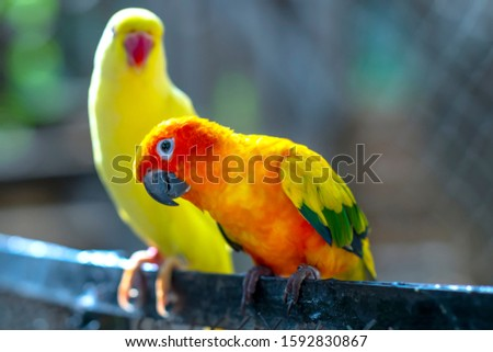 Lovebird parrots sitting together. This birds lives in the forest and is domesticated to domestic animals #1592830867