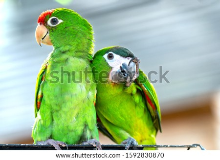 Lovebird parrots sitting together. This birds lives in the forest and is domesticated to domestic animals #1592830870