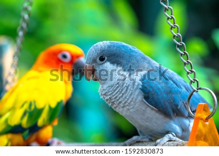 Lovebird parrots sitting together. This birds lives in the forest and is domesticated to domestic animals #1592830873