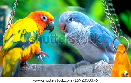 Lovebird parrots sitting together. This birds lives in the forest and is domesticated to domestic animals #1592830876