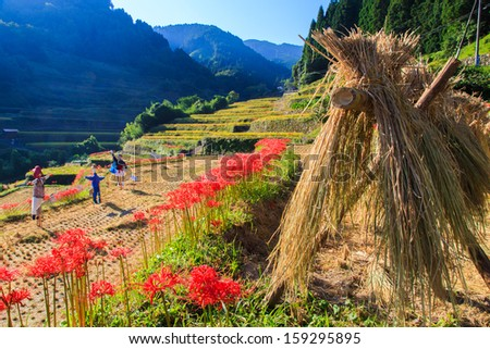Terraced rice fields and cluster amaryllis #159295895