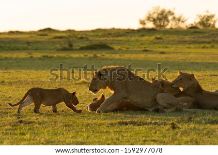 A young lion cub approaching a group of sub-adult male lions of the pride with caution inside Masai Mara National Reserve during a wildlife safari #1592977078