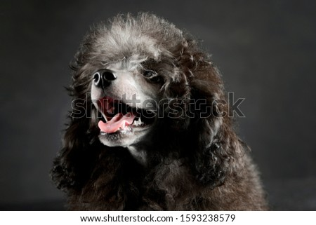 Portrait of an adorable poodle looking satisfied