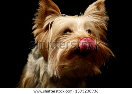 Portrait of an adorable Yorkshire Terrier looking satisfied