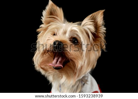 Portrait of an adorable Yorkshire Terrier wearing a t-shirt and looking satisfied