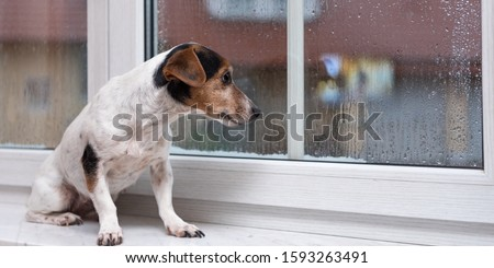 small Jack Russell Terrier dog sits alone on a windowsill in bad weather and looks outdoors in the winter season #1593263491