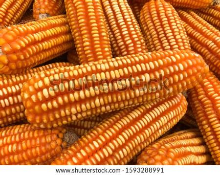 Dry corn seed. Orange corn. Texture. Yellow corns. Corn vegetable pattern. Sweet corn. #1593288991
