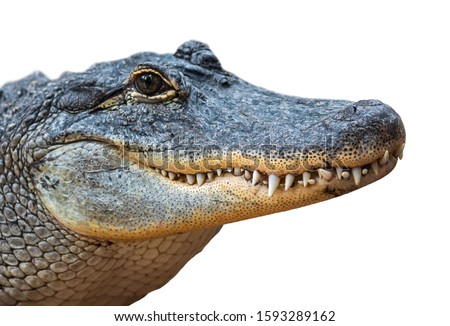 American alligator / common gator (Alligator mississippiensis) close-up of closed snout showing teeth against white background Royalty-Free Stock Photo #1593289162