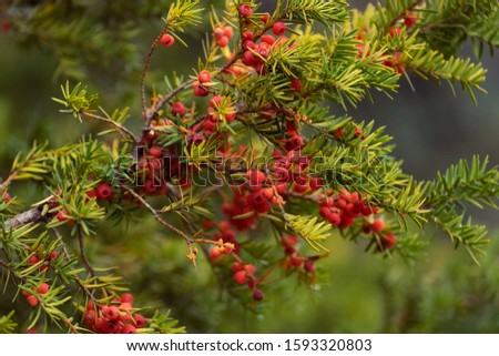 European yew with berries. Taxus baccata, common yew, english yew. #1593320803