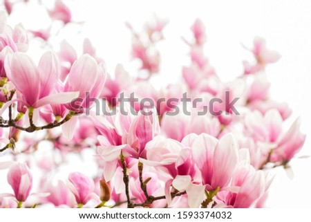 Magnolia flowers. Magnolia flowers background close up. Tender bloom. Floral backdrop. Botanical garden concept. Aroma and fragrance. Spring season. Botany and gardening. Branch of magnolia.