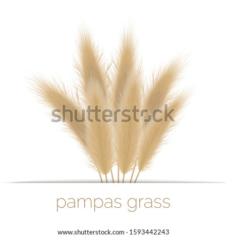 Pampas golden grass copy space on stripe. Vector illustration. panicle Cortaderia selloana South America. ornamental grass. feathery grass head plumes, for floral arrangements, displays, decoration #1593442243