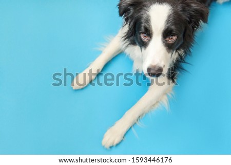 Funny studio portrait of cute smilling puppy dog border collie isolated on blue background. New lovely member of family little dog gazing and waiting for reward. Pet care and animals concept. #1593446176