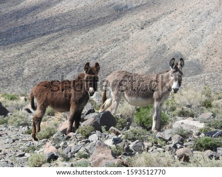 A couple of wild burros roaming the desert, near the old ghost town of Marietta, Mineral County, Nevada.