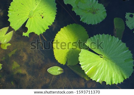 Green lotus leaf in the water background #1593711370