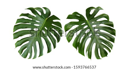 Monstera leaves isolated on white background, Swiss cheese plant, tropical  design #1593766537